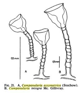 Campanularia assymetrica (Stechow, 1919)