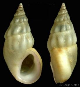 Rissoa ventricosa (Desmarest, 1814)